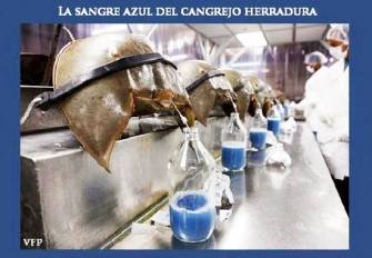 cangrejo_herradura