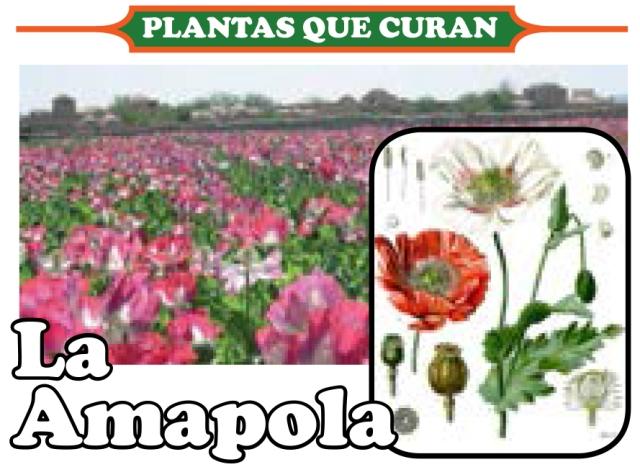 amapola 1